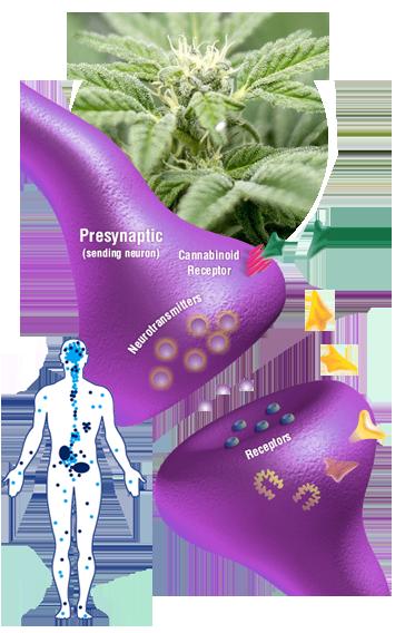 cbd receptors